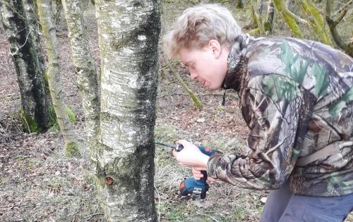 Birketræ og opboring til aftapning