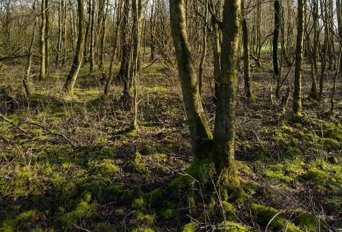 Mose med birketræer om vinteren